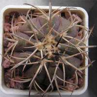 Gymnocalycium spegazzinii var. major